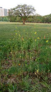 中央公園に咲くアブラナ科の花。これは検査に使ったものではありません。