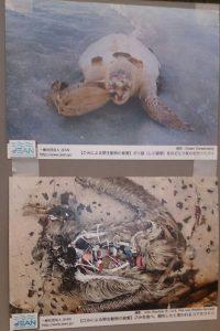 展示より<写真上>「レジ袋をのどに詰まられたウミガメ」<写真下>「プラごみを食べ餓死したと思われるコアホウドリ」